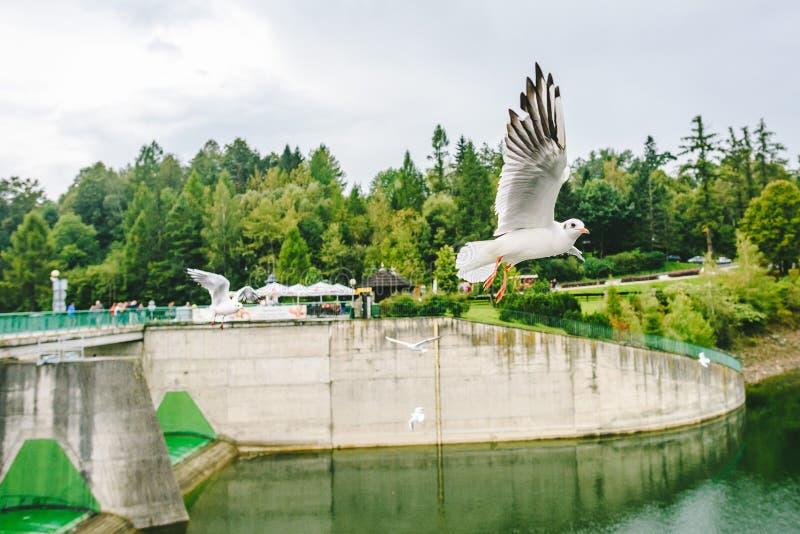 飞行海鸥临近中世纪Niedzica城堡 免版税库存照片