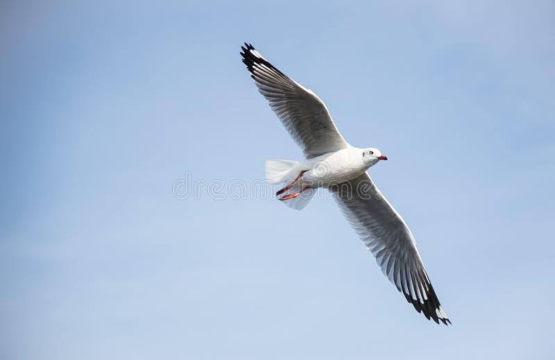 飞行海鸥选择聚焦在看的蓝天的直接 免版税库存图片