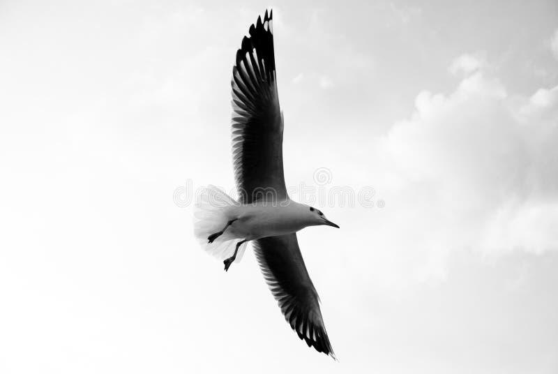 飞行海鸥 免版税图库摄影