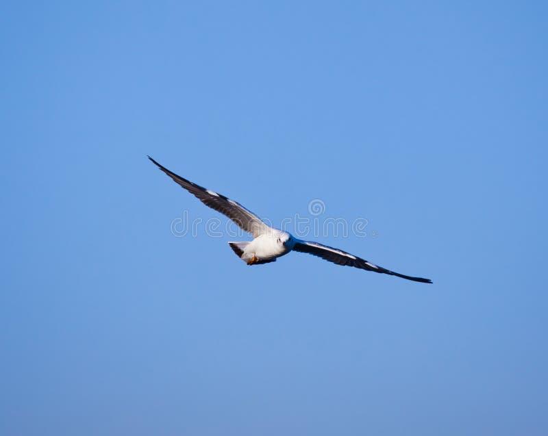 Download 飞行海鸥 库存照片. 图片 包括有 烧杯, 晴朗, 特写镜头, 羽毛, 野生生物, 海鸟, 翱翔, 被扭伤的 - 22356634