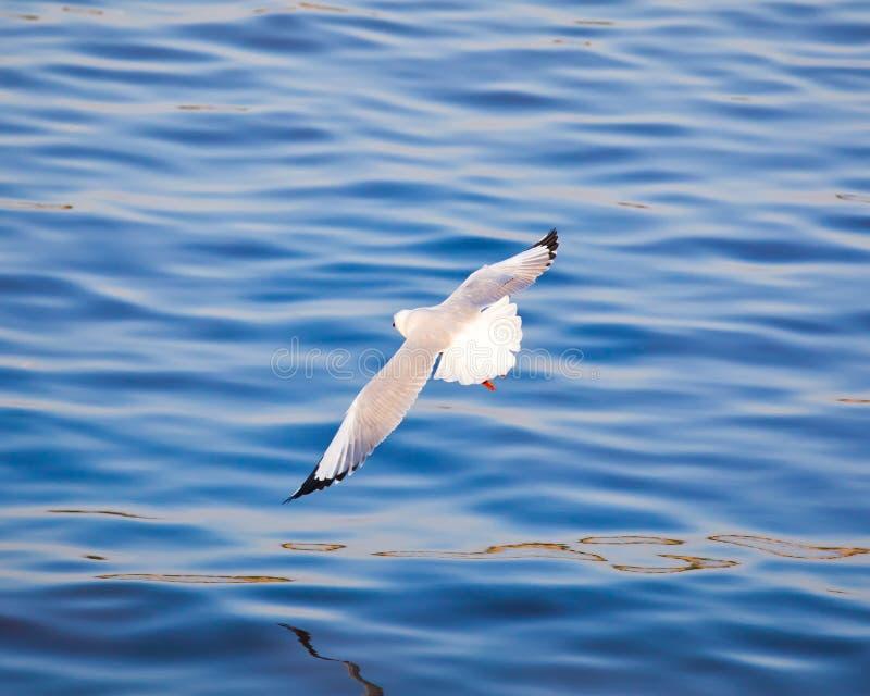 Download 飞行海鸥 库存照片. 图片 包括有 天空, 照亮, 海洋, 翱翔, 海岸, 空白, 蓝色, 海鸟, 晴朗 - 22356640
