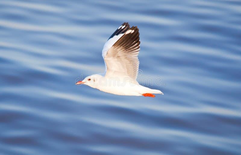 Download 飞行海鸥 库存图片. 图片 包括有 通配, beautifuler, 海鸟, 特写镜头, 空白, 烧杯, 羽毛 - 22356645
