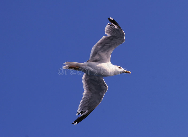 飞行海鸥 库存照片