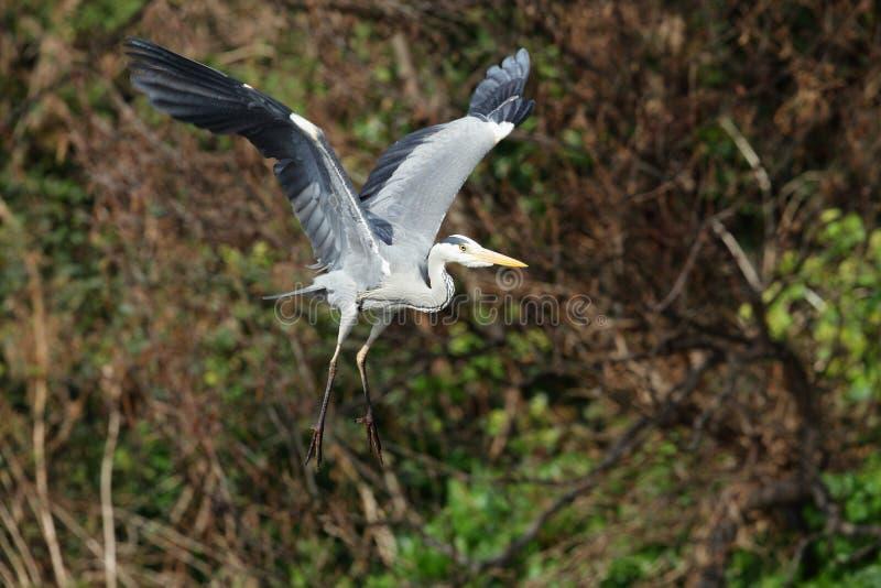 飞行灰色苍鹭 库存图片