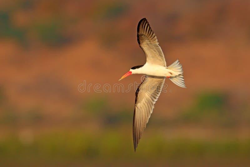 飞行燕鸥 战斗本质上的美丽的黑白红色票据鸟 非洲漏杓, Rynchops flavirostris,在飞行 飞行a 免版税库存照片
