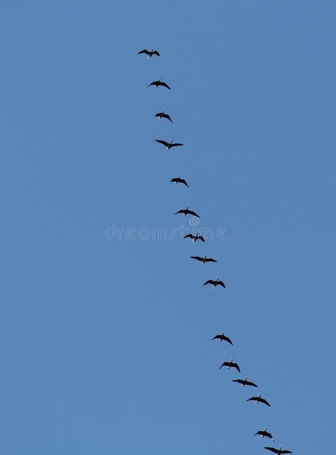 飞行狂放的更加巨大的white-fronted鹅分析服务公司albifrons群反对天空蔚蓝的 库存图片