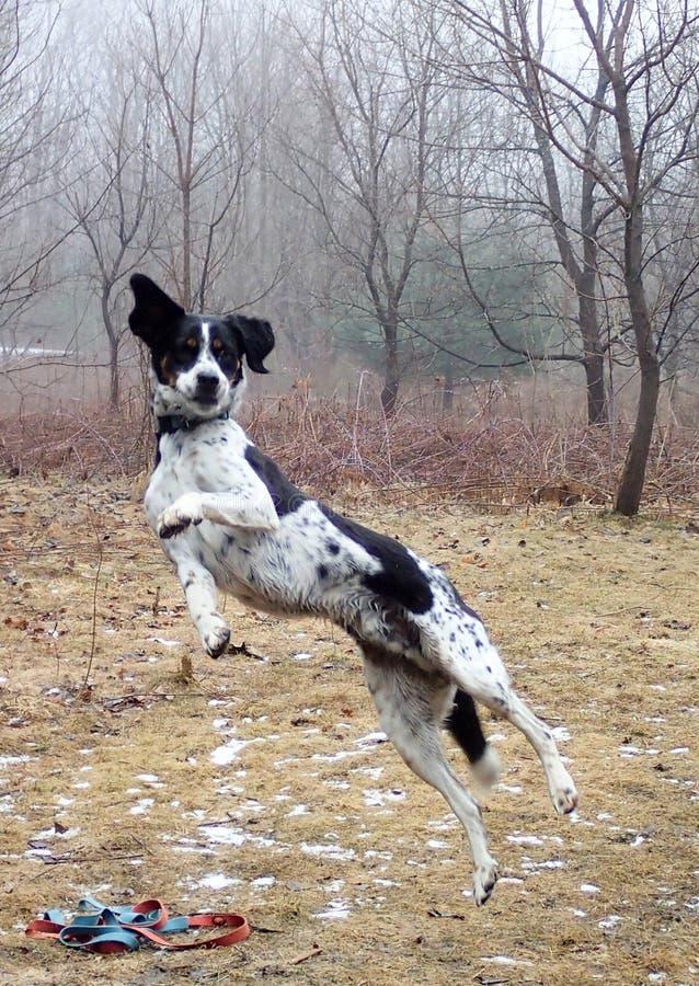 飞行猎犬 库存图片