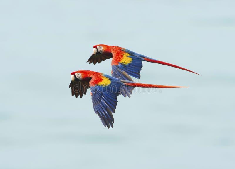 飞行猩红色的金刚鹦鹉, corcovado nat公园,哥斯达黎加 免版税库存照片