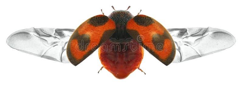 飞行甲虫 库存照片