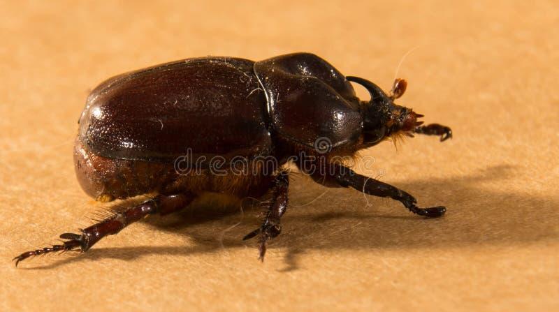 飞行甲虫 库存图片