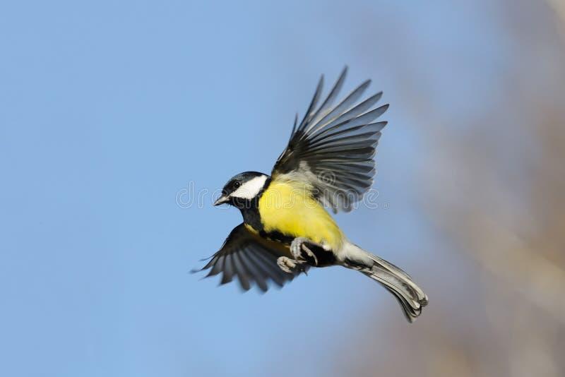 飞行的伟大的山雀在明亮的秋天天 免版税库存照片