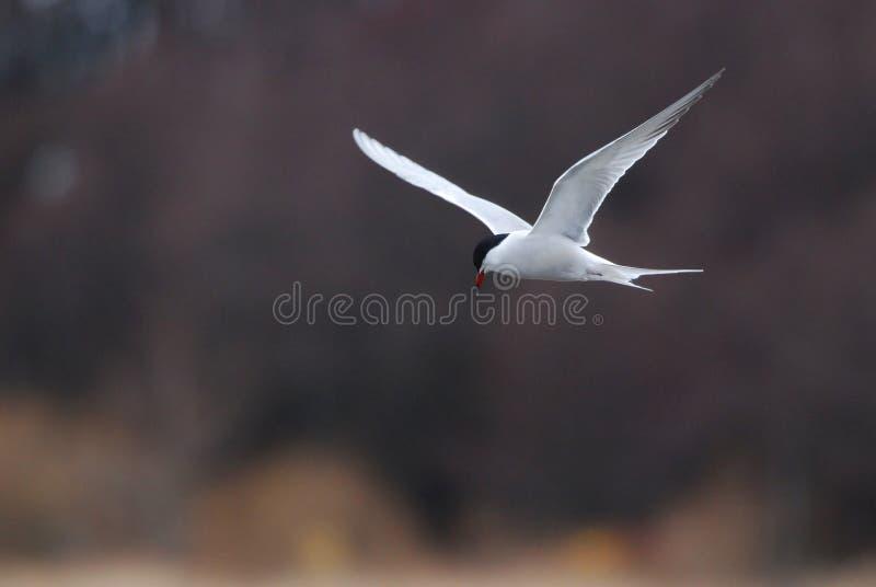 飞行的北极燕鸥 免版税库存照片