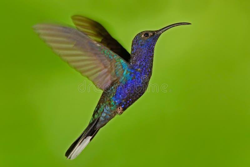 飞行的大蓝色鸟紫罗兰色Sabrewing有被弄脏的绿色背景 在飞行的蜂鸟 飞行蜂鸟 行动野生生物场面 免版税库存照片
