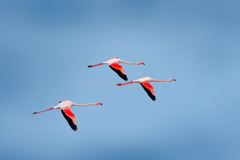 飞行的好的桃红色大鸟更加伟大的火鸟, Phoenicopterus ruber,与与云彩的清楚的蓝天, Camargue,法国 野生生物欧元 库存图片