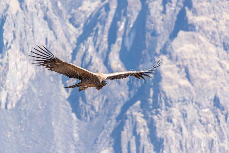 飞行的安第斯秃鹰 库存图片