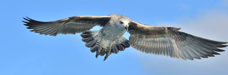 飞行的少年海带鸥鸥属dominicanus 背景蓝天 库存图片