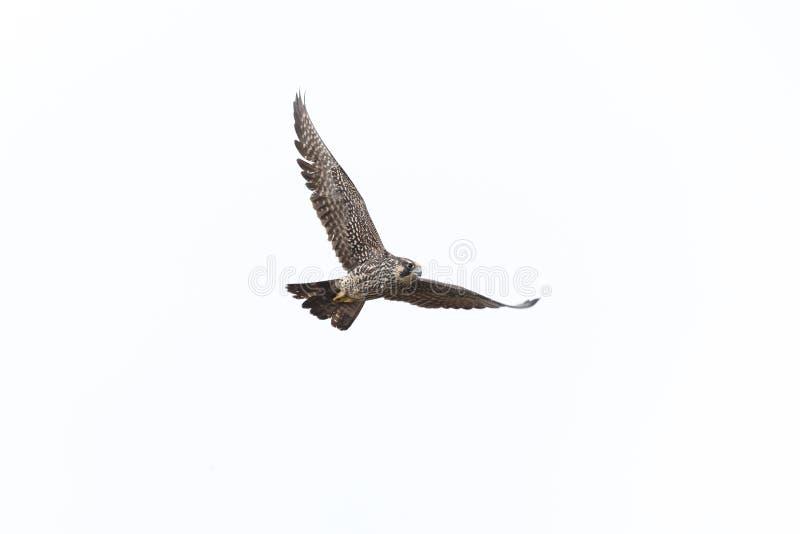 飞行的旅游猎鹰 库存照片