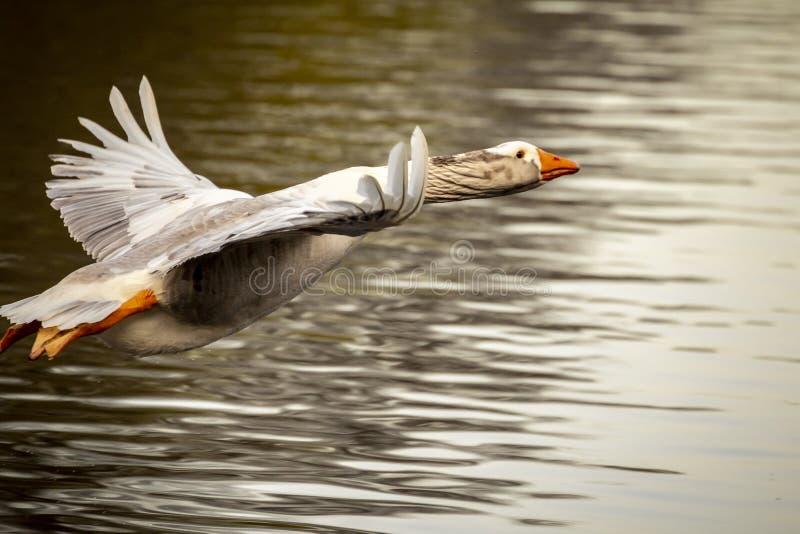 飞行的灰色滞后鹅 免版税库存图片