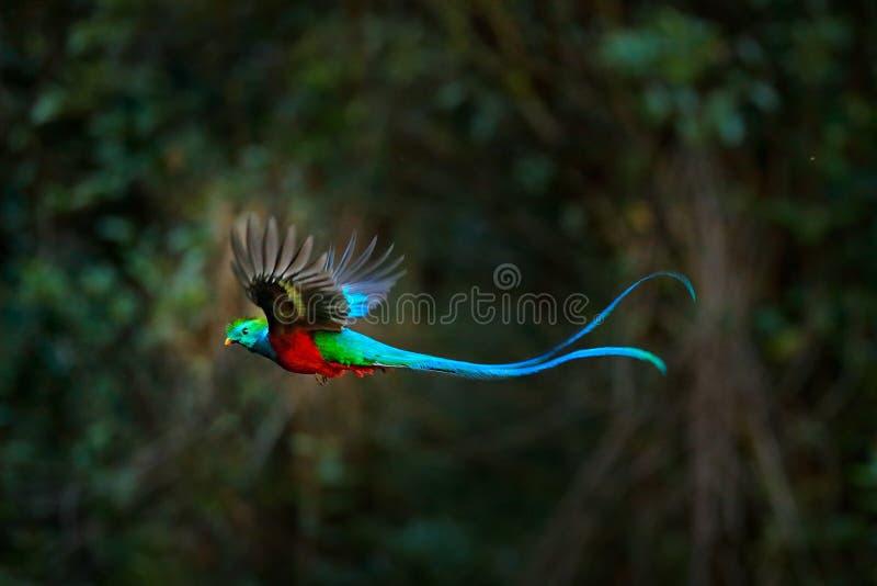 飞行的灿烂的格查尔,Pharomachrus mocinno,哥斯达黎加,有绿色森林的在背景中 壮观神圣绿色和红色 库存照片