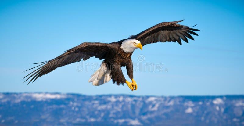 飞行的白头鹰,荷马,阿拉斯加 免版税库存图片