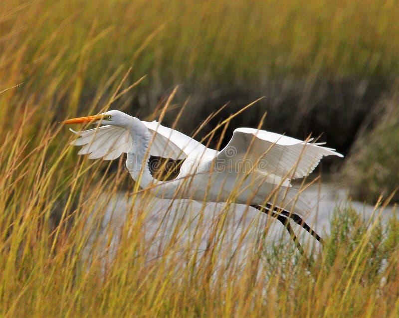 飞行的白色白鹭 免版税库存照片