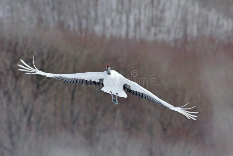 飞行的白色鸟在背景中红加冠了起重机,粗碎屑japonensis,与开放翼,有雪风暴的,森林栖所,北海道, 库存图片