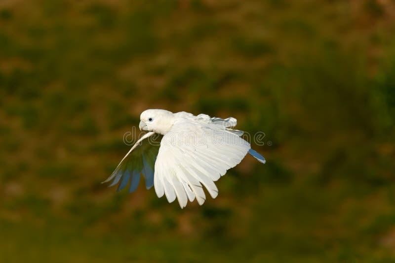 飞行的白色鹦鹉 Solomons美冠鹦鹉, Cacatua ducorpsii,飞行的白色异乎寻常的鹦鹉,鸟在自然栖所,行动场面fr 图库摄影