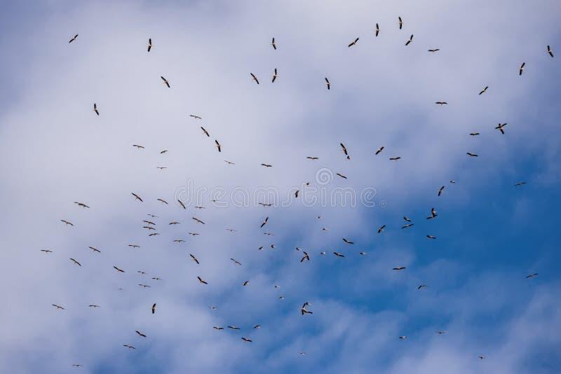 飞行的白色鹳 飞行鹳以多云天空为背景的Ciconia Ciconia群  从狂放的自然的场面 库存照片