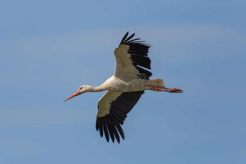 飞行的白色鹳(Ciconia ciconia)在蓝天 免版税图库摄影