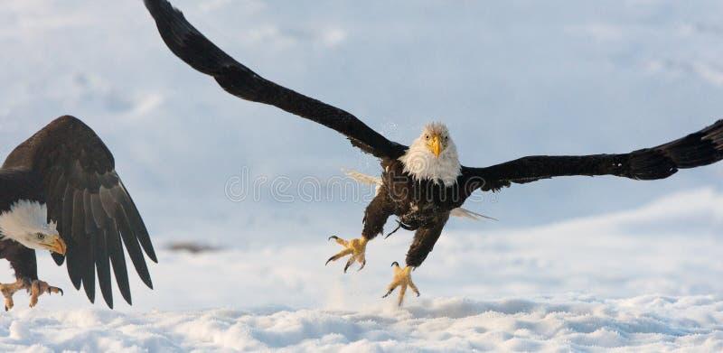 飞行的白头鹰 免版税库存照片