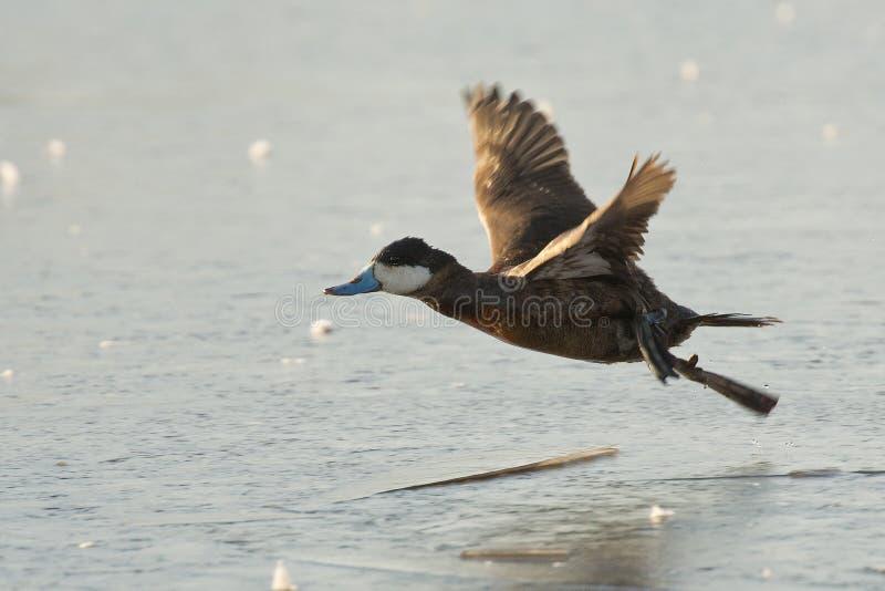 飞行的红鸭子 免版税库存照片