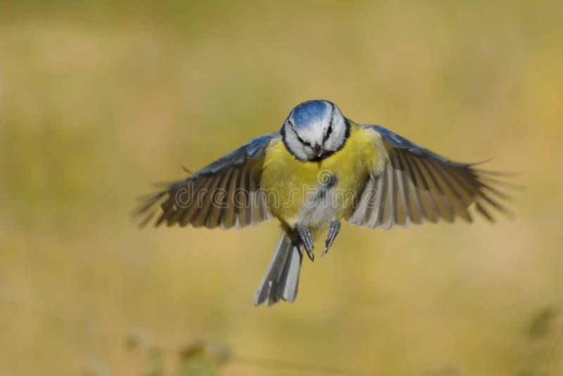 飞行的蓝冠山雀在明亮的秋天天 免版税库存照片