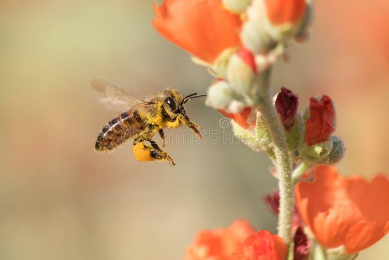 飞行的蜜蜂离开冬葵 库存图片
