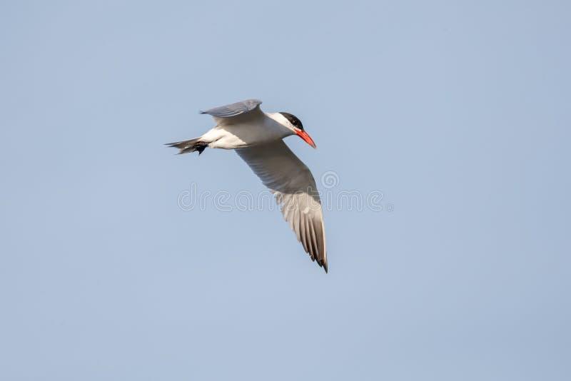 飞行的里海燕鸥 图库摄影