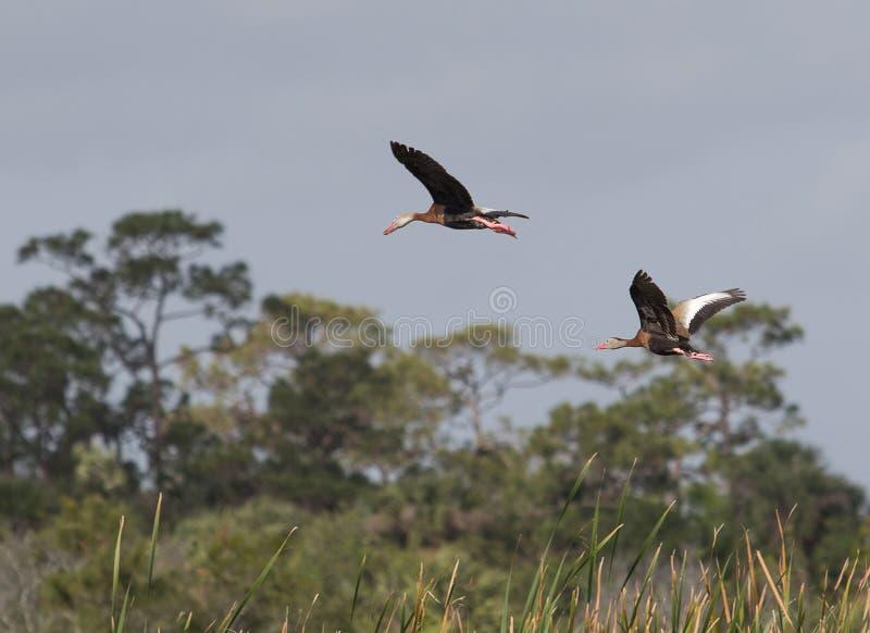 飞行的黑鼓起的吹哨的鸭子 库存照片