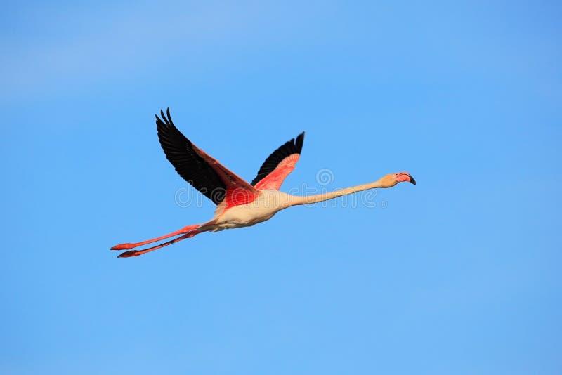 飞行的更加伟大的火鸟, Phoenicopterus ruber,与清楚的蓝天, Camargue,法国的桃红色大鸟 免版税库存照片