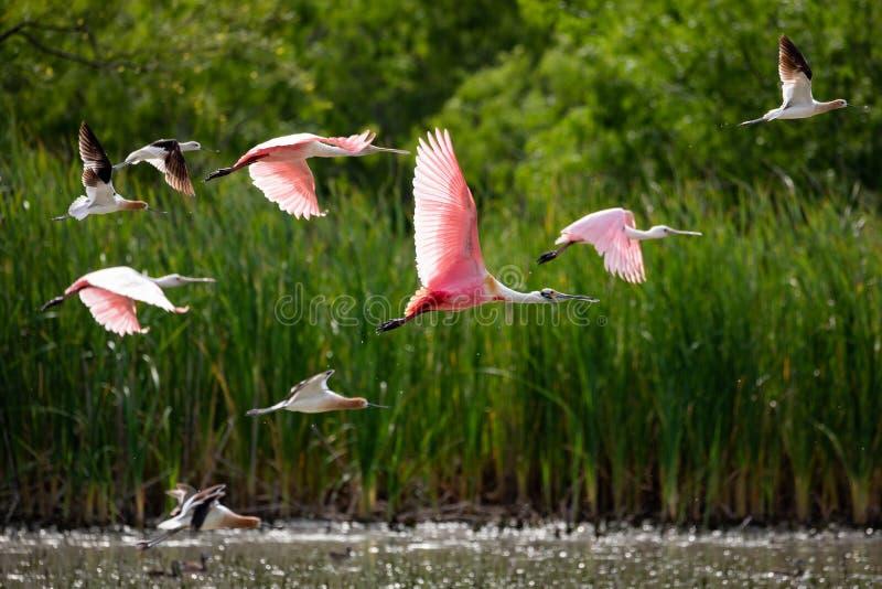 飞行粉红琵鹭 图库摄影