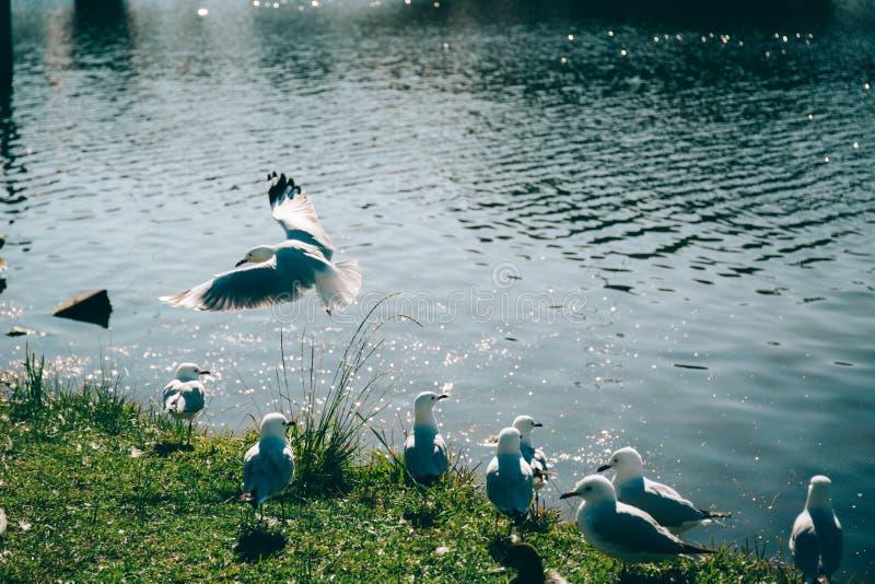 飞行纯海鸥天空的鸟 图库摄影