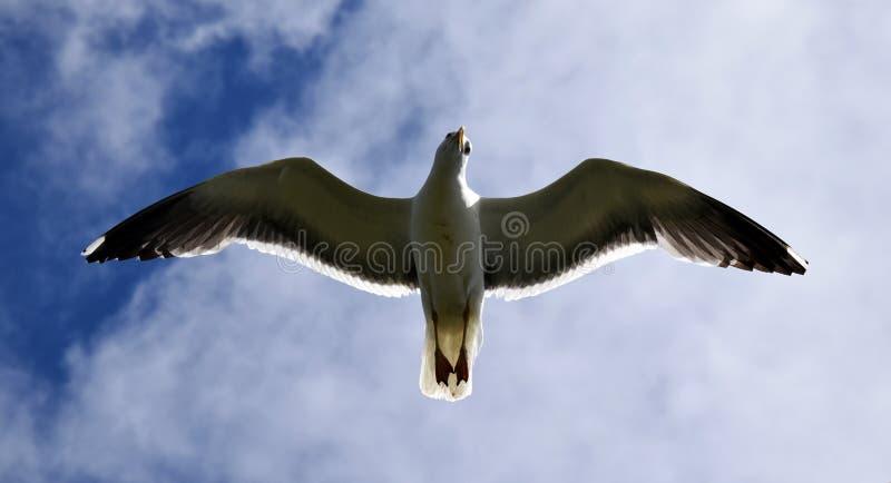 飞行纯海鸥天空的鸟 库存照片