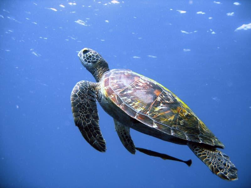 飞行绿海龟 库存图片