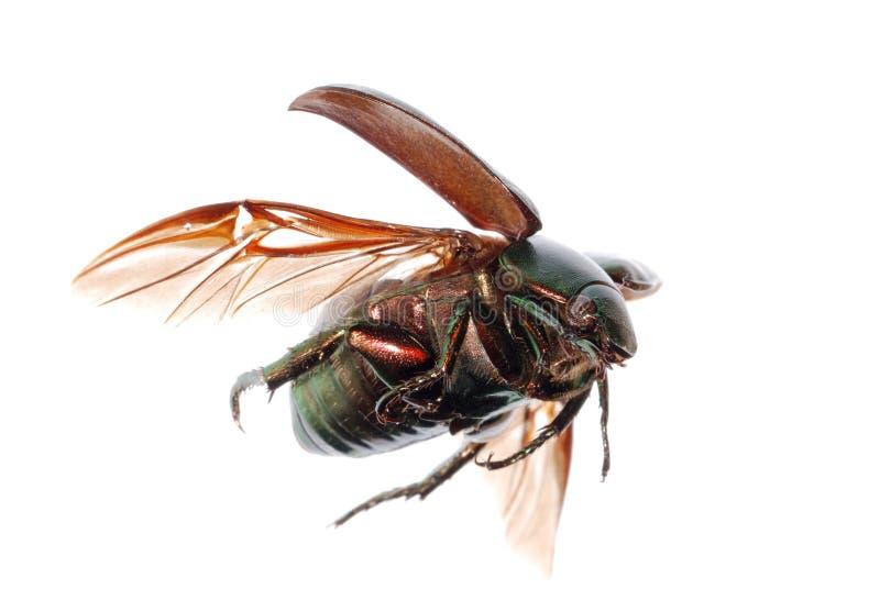 飞行绿色金龟子的甲虫 免版税库存照片