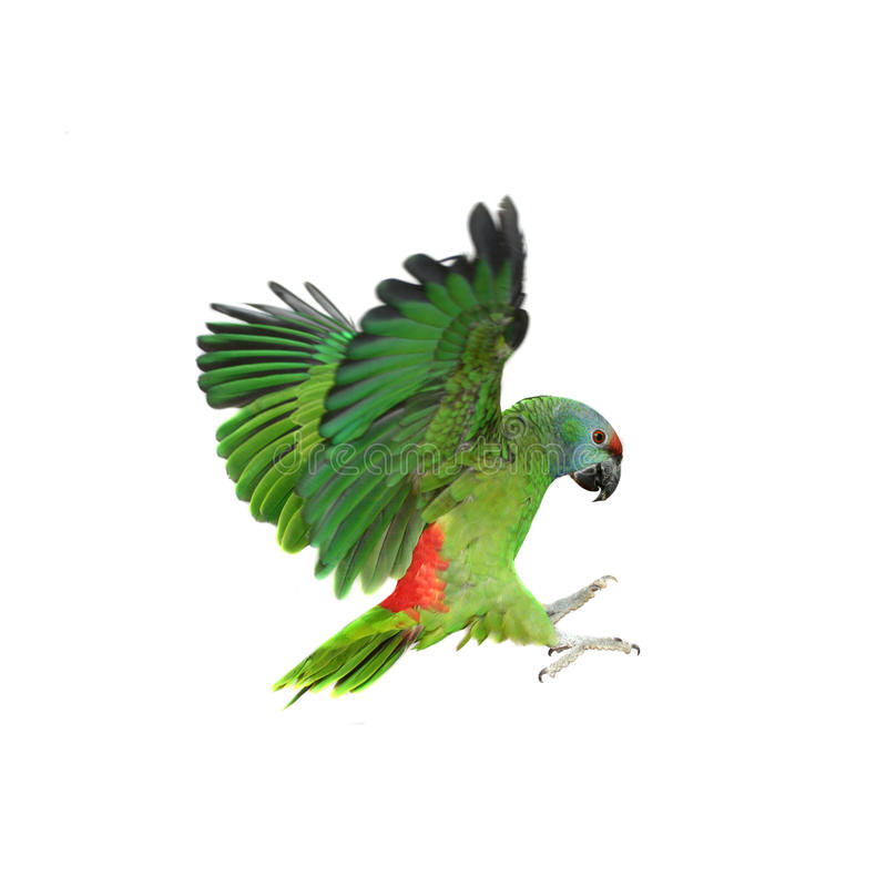 飞行节日在白色的亚马逊鹦鹉 免版税库存图片