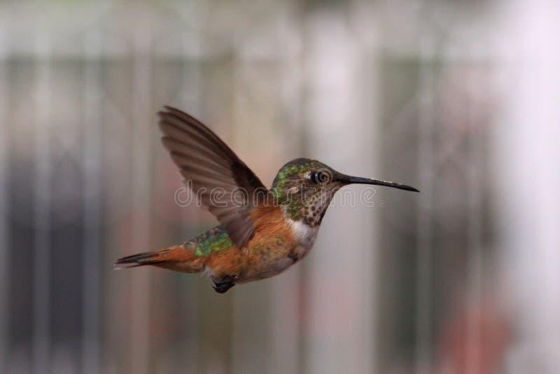 飞行蜂鸟 图库摄影
