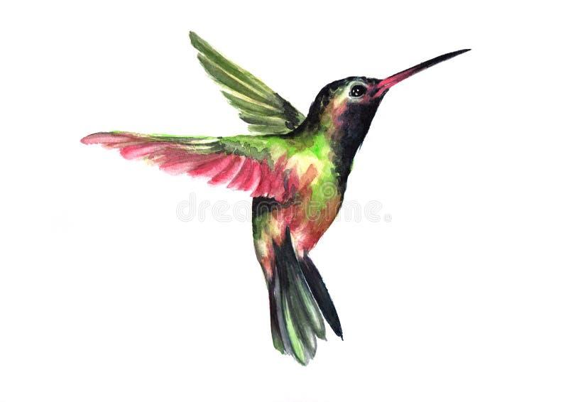 水彩-在白色背景隔绝的飞行蜂鸟