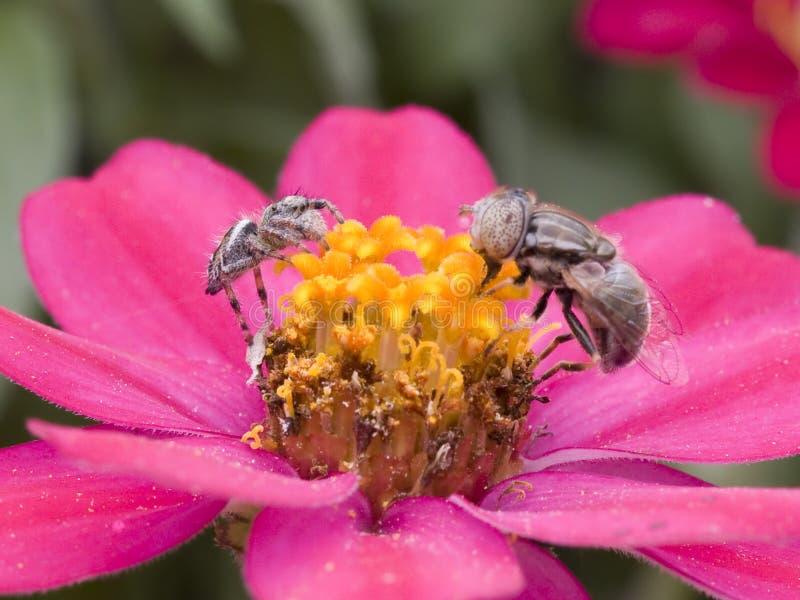飞行蜘蛛偷偷靠近 图库摄影