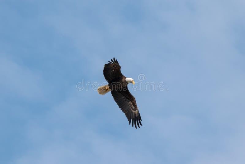 飞行通过天空蔚蓝的一只白头鹰 免版税库存图片