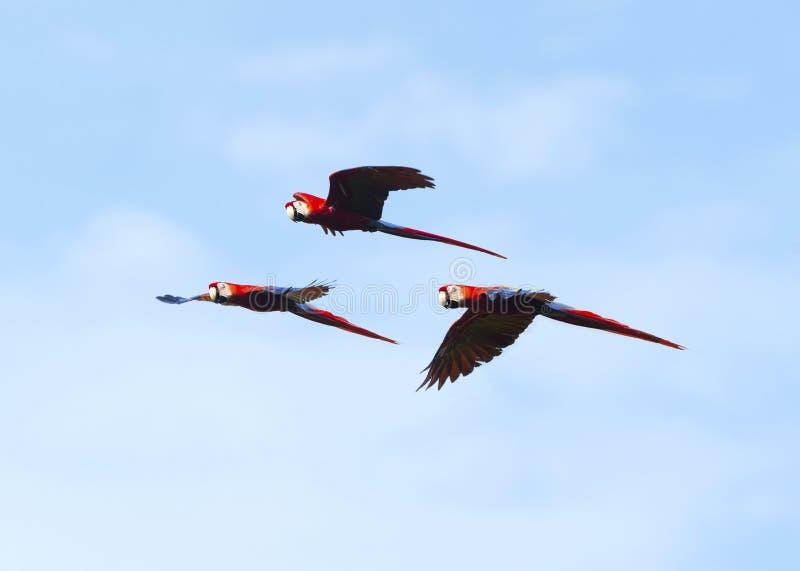 飞行野生猩红色的金刚鹦鹉群, corcovado,哥斯达黎加 免版税库存照片