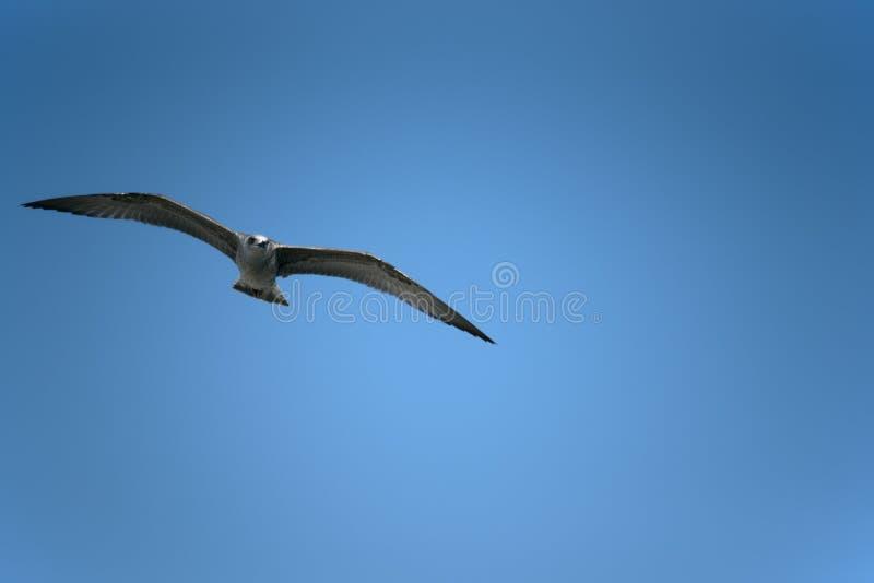 飞行高在天空的鸟 库存照片