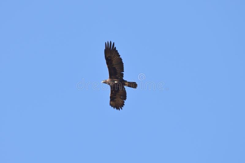 飞行高在更低的湖的鹰 库存图片