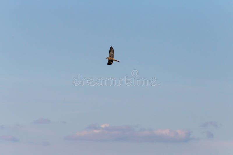 飞行高在深蓝天的鸷 库存照片